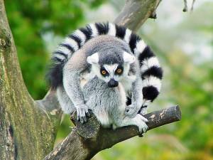 Hypnotiserad av lemur